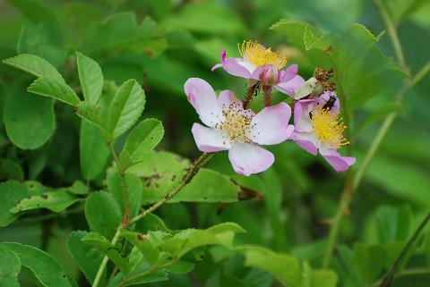 ツクシノイバラの花が