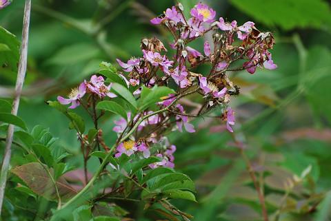 ツクシノイバラの花が2