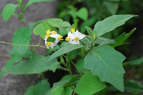 ワルナスビに白い花が