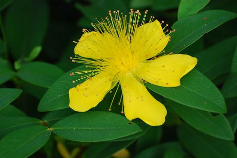 ビヨウヤナギの黄色い花
