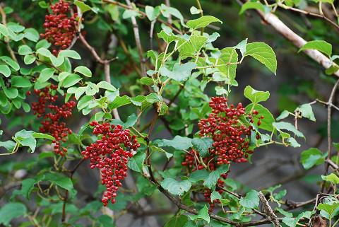 この赤い実の木は?