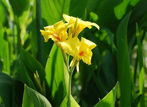 黄色のカンナ