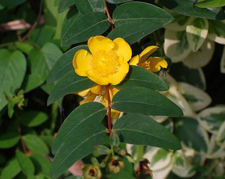 ビヨウヤナギの黄色い花が