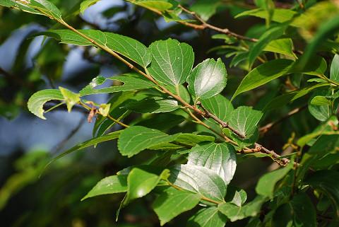 エノキの葉は