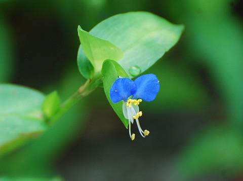 ツユクサの花は