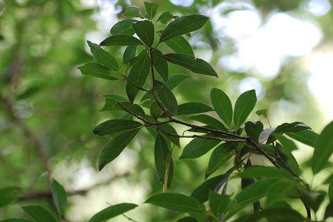 カナクギノキの葉を