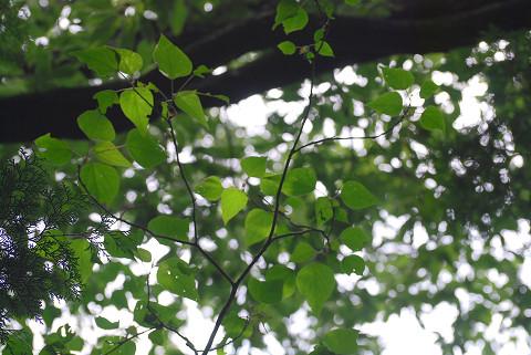 木肌のきれいな木の葉を