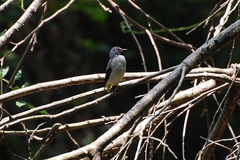 この小鳥は何?