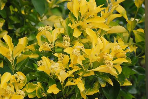 オウゴンマサキの黄色い葉