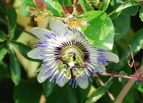 テッセンの変わった花