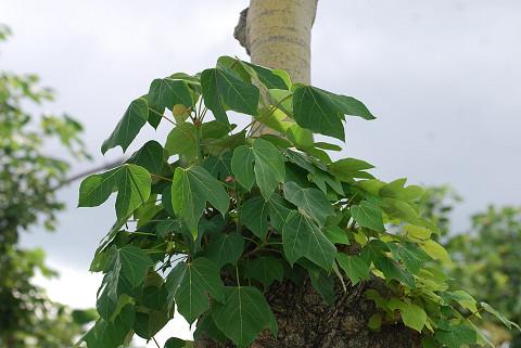 アオギリの大きな葉