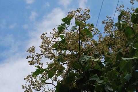アオギリの大きな花序