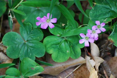 ムラサキカタバミのピンクの花