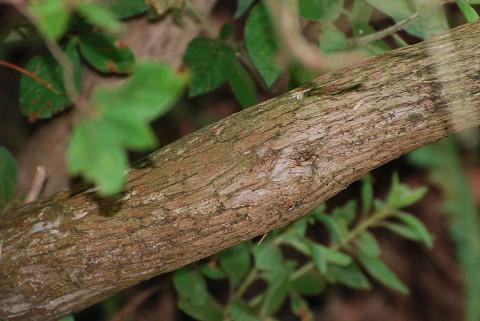 ネジキの木肌が