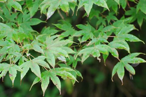 オオモミジの大きな葉