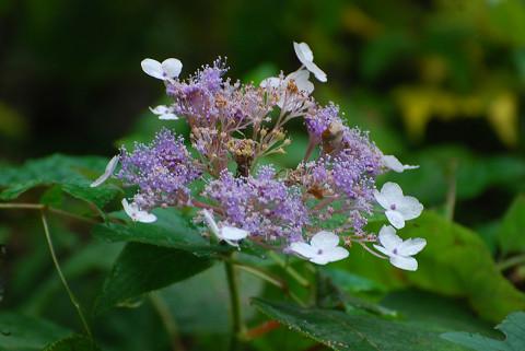タマアジサイの花がきれい