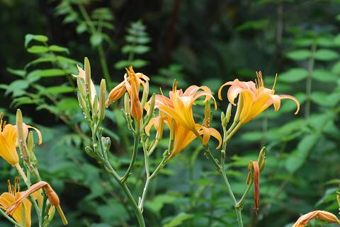 ニッコウキスゲの花が
