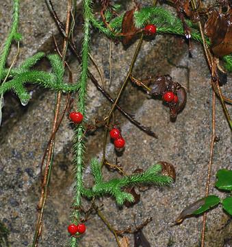 この赤い実の植物は?