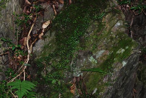 岩にマメヅタ