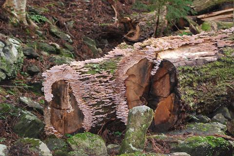 枯れ木にキノコが