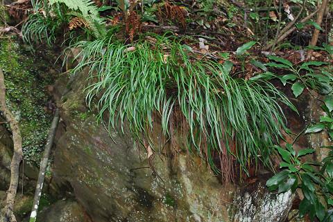岩にノキシノブが
