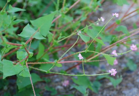 ママコノシリヌグイに花が