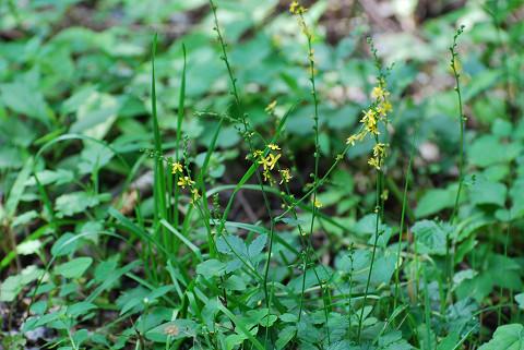 キンミズヒキの花が