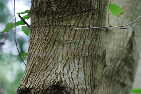 ケンポナシの木肌