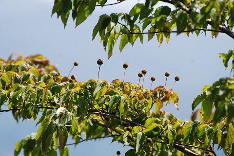展望台のヤマボウシの木