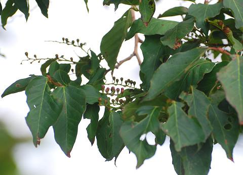 この木の実は?