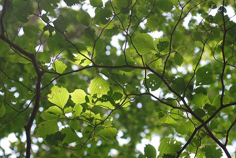 コハクウンボクの葉は