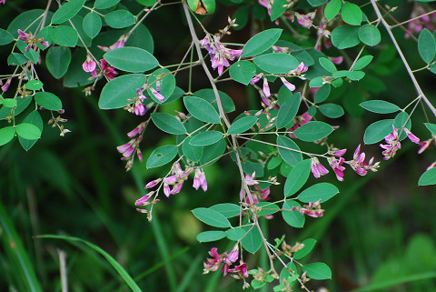 ヤマハギの花は