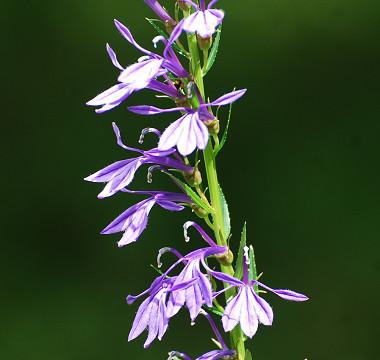 サワギキョウの紫の花