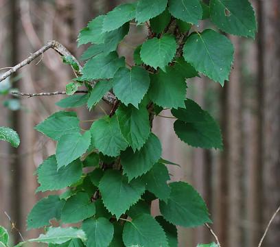 イワガラミの葉が