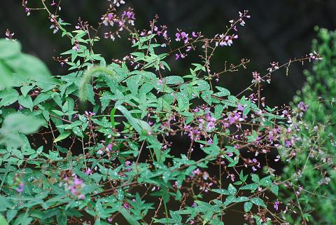 アレチヌスビトハギの花がきれい