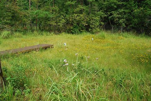 庄ノ沢湿地のミズギク群生