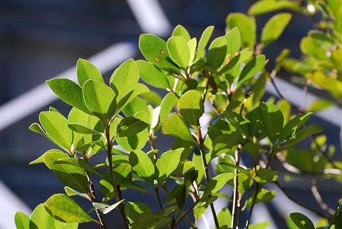 シャリンバイの葉は