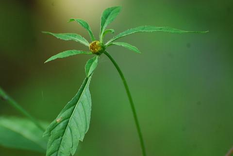 アメリカセンダングサの頭花