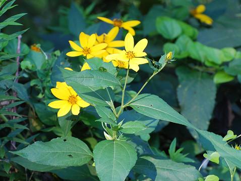 キクイモの黄色い花が