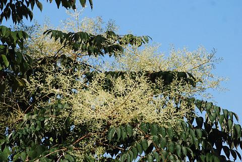タラノキの大きな花は