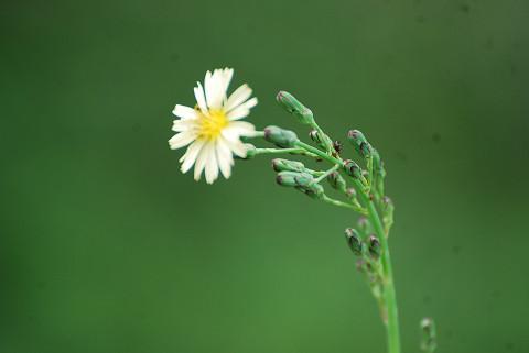 アキノノゲシの花が
