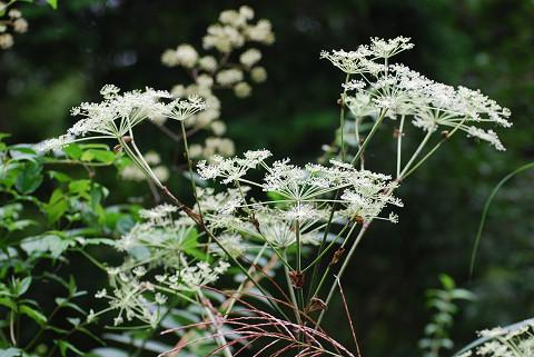 シシウドの白い花