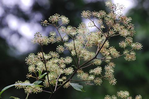 ウドの花がきれい