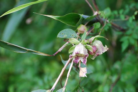 ツルニンジンの花は