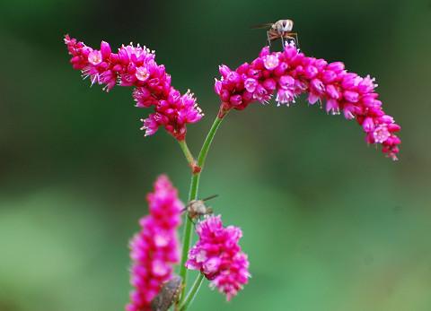 オオベニタデの赤い花