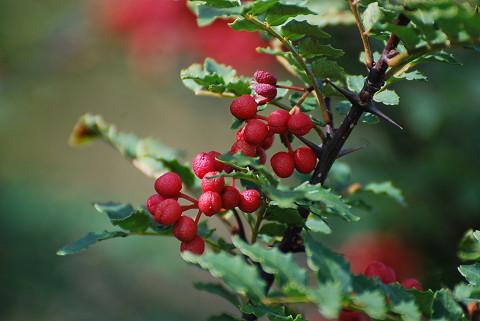 サンショウの赤い実が