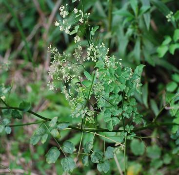 アキカラマツの花