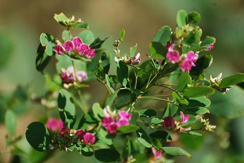 マルバハギの花がきれい