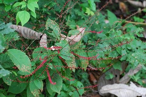 ミズヒキの赤い花は