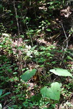 オヤマボクチの葉は